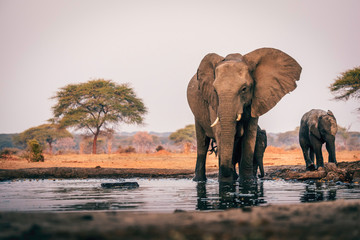 Photo sur Toile Elephant Elefantenkuh mit Jungem am Wasserloch, Senyati Safari Camp, Botswana