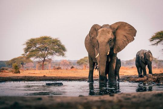 Elefantenkuh mit Jungem am Wasserloch, Senyati Safari Camp, Botswana