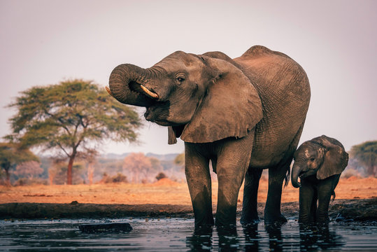 Elefantenkuh trinkt mit Jungem am Wasserloch, Senyati Safari Camp, Botswana