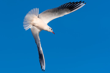 Diving Bird with Wings in a Ninety Degree Angle
