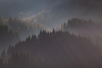 Poster Morning with fog sun-rays through misty pine forest
