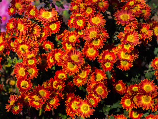 Bouquet of red-yellow chrysanthemums. Annuals chrysanthemum background autumn card. Floral background. Chrysanthemums in the garden.