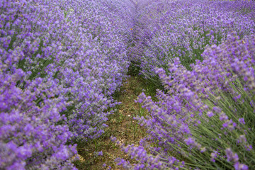 Close up of Purple lavender. Field of lavandula in Bulgaria