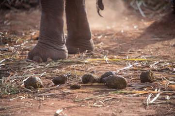 elephant shits on dirt floor