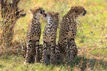 Geparden, freilebend in der Massai Mara