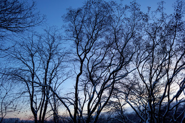 Bare trees against a blue sky