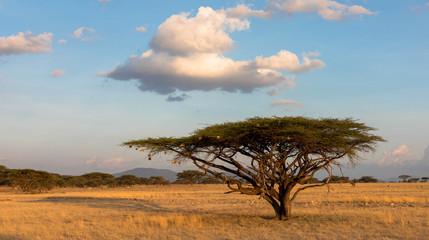 Schirmakazie in der Massai Mara
