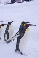 A flock of King penguins are walking happily over white snow during winter months when Christmas and New Year is coming. Penguins are aquatic, flightless birds and living together in large colonies.
