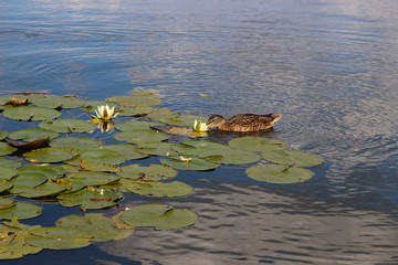 Duck drinks water from a water liliy