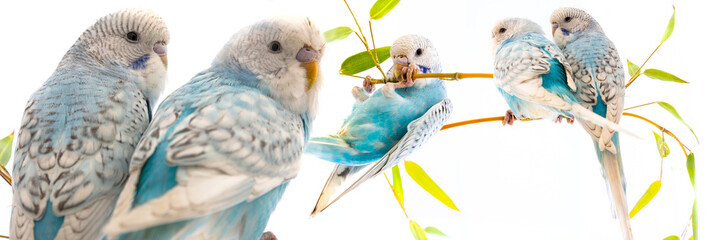 little blue wavy parrots on white background isolated