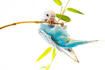 little blue wavy parrot on white background isolated