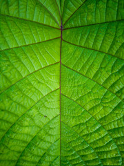 Pattern and texture of Mucuna Green tropical leaves and leguminous plant. Mucuna Bracteata. It is a...
