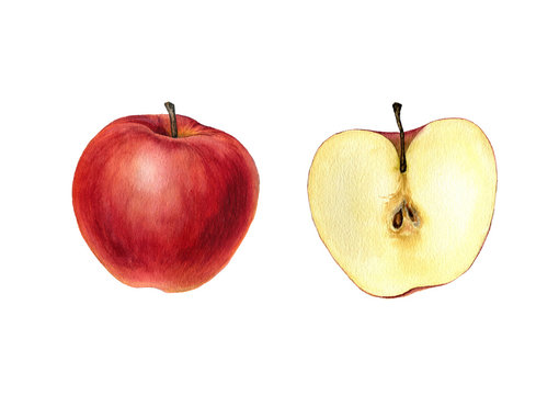 watercolor drawing apple