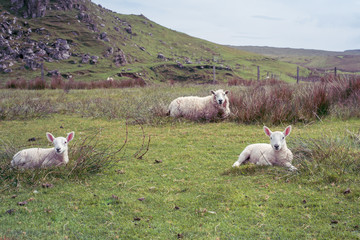 Sheep grazing near Brothers Point, Isle of Skye, Highlands, Scotland