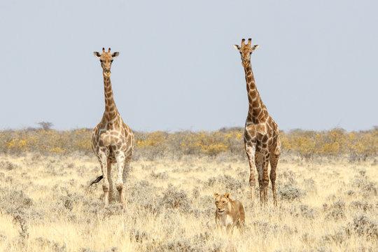 Zwei Giraffen begleiten eine Löwin