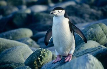 Antarctica. Kinband penguin