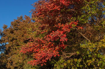 Bright and colorful fall leaves against a bright blue sky.
