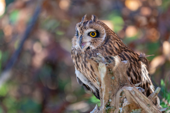 Short Eared Owl on a Branch