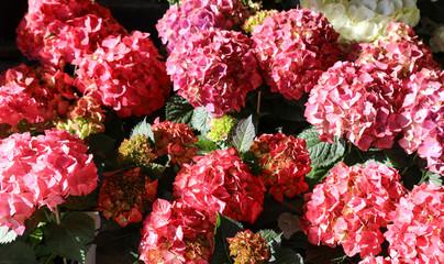 Variety of pink hydrangeas or Hydrangea macrophylla in the garden shop.