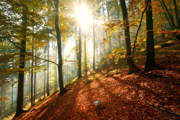 Fototapeta Magical morning fall season forest landscape with colorful autumn leaves.