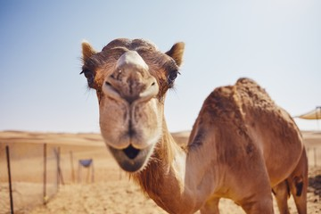 Foto op Canvas Kameel Curious camel in desert