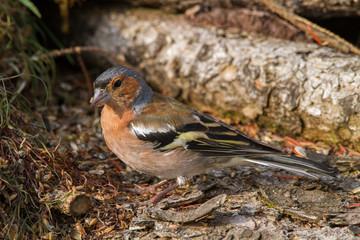 passerine bird mountain Italian europe