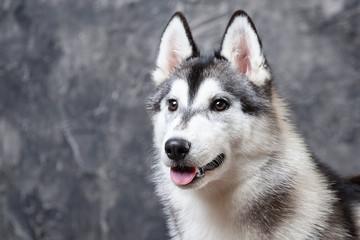 dog husky on a gray background. close-up