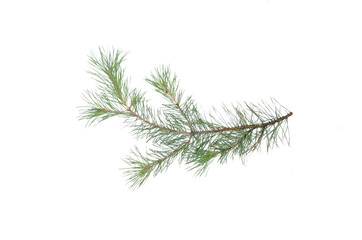 Green pine tree branch isolated on white background.