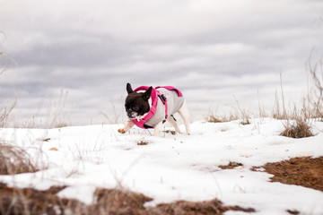 Dog of the French bulldog breed, wearing a gray and pink sweatshirt, eating snow in the field, with a background of blue storm clouds.