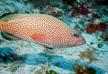 Maldives. Handsome red hind grouper/Maldives. Handsome red hind grouper among the corals of the shelf.