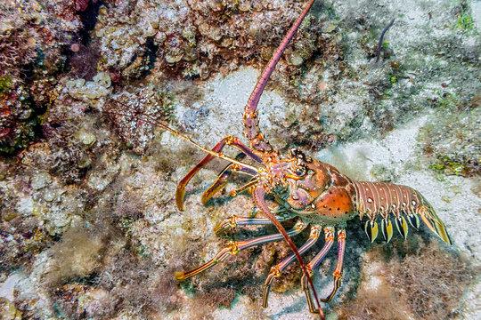 Maldives. Caribbean lobster/Maldives. Caribbean lobster panulirus argus among the coral reef coastal shelf.