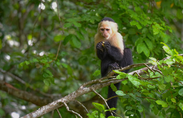 White-headed capuchin (Cebus capucinus).  Medium sized monkey of the family Cebidae subfamily Cebinae, in his native home in a jungle along the Panama Canal.