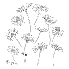 Daisy flowers.Sketch.Hand drawn outline vector illustration, isolated floral elements for design on white background.