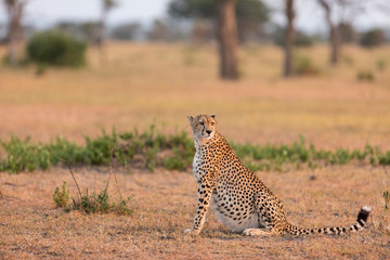 Cheetah sitting on landscape at Serengeti National Park
