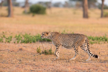 Cheetah walking at Serengeti National Park
