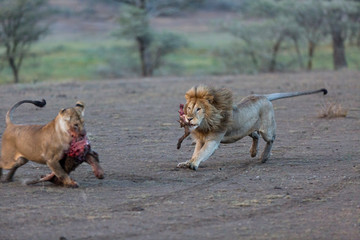 Lion and Lioness feeding on prey at Serengeti National Park