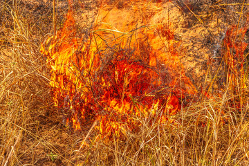 Wall Mural - Bushfire with flames. Grassland in nature Australian Outback. Dangerous fires in dry season. Fire background. Natural disaster in global climate change. Emergency in summer.