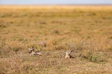 Bat eared fox sitting in grass at Serengeti National Park