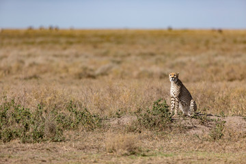 Cheetah sitting at Serengeti National Park