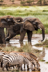 African elephant and zebras drinking water in a watering hole