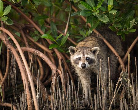 Portrait of Raccoon standing in mangrove roots