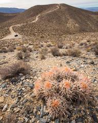 Barrel cactus†growing on desert landscape at Death Valley National Park
