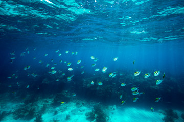 Shoal of Sergeant major fishes swimming underwater at Looe Key