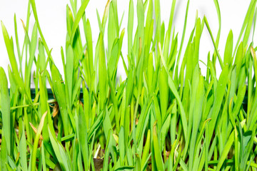 Sprouted oats.Green sprouted sprouts.Green grass.