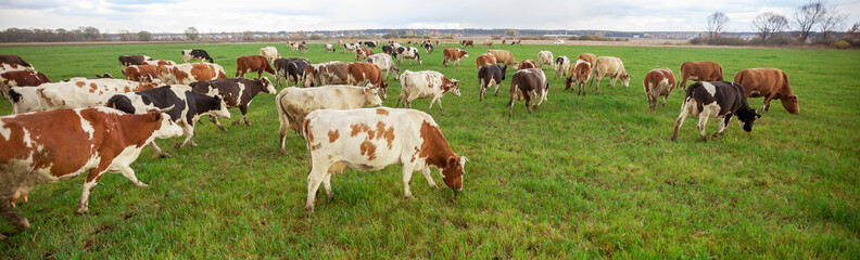 Cows grazing in the meadow panorama