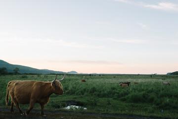 A bull in a field