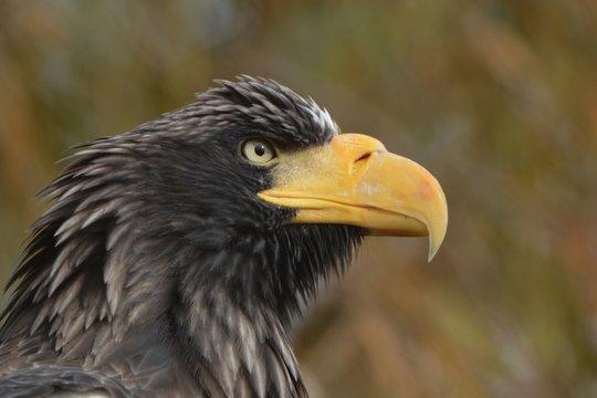 Stellar Sea Eagle