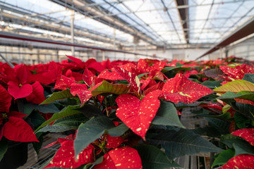 Red and yellow speckled poinsettias in nursery greenhouse