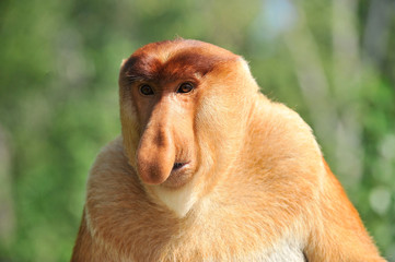 Deurstickers Aap Proboscis Monkey in the Rain Forest, Borneo, Malaysia