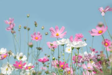 Fototapete - Bueatiful Cosmos flower on blue sky background.